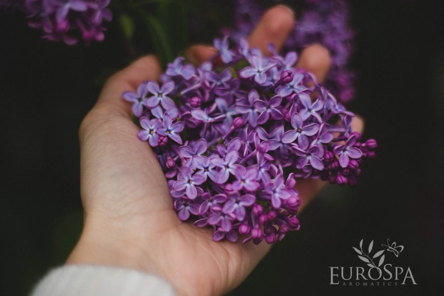 lavender for sinuses