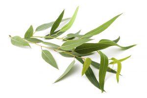 Eucalyptus Leaves