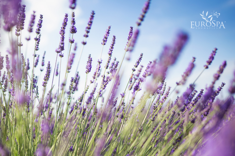 Benefits of Lavender for Healing Dry Skin