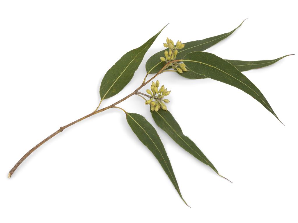 Suprema Grade 100% Natural Eucalyptus Oil